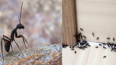 Photo of Te-au invadat furnicile? Pune momeală pe granule de zahăr și introdu-le în cuib