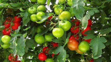 Photo of 6 metode pentru o cultura bogata de rosii. Toate ingredientele se gasesc in bucatarie