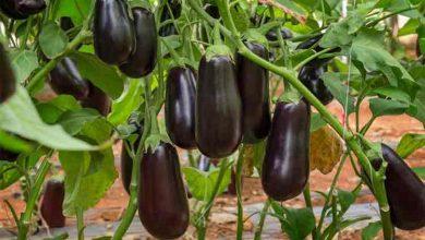 Photo of Pansament natural pentru vinete, de la plantare pana la culegerea lor