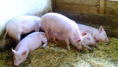 Photo of Lovitura dura pentru oamenii de la sate: Nu mai au voie cu mai mult de 5 porci in gospodarie